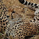 Guépard, parc national du Serengeti