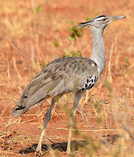 Secretary bird - Messager sagitaire