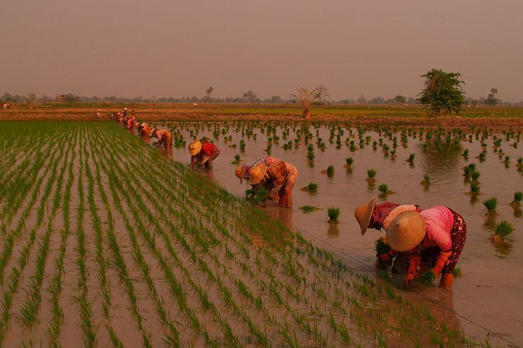 Planteuses de riz, Birmanie