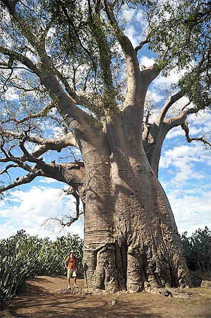 Le baobab d'Ampanihy