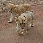 Lionceaux, parc national du Serengeti