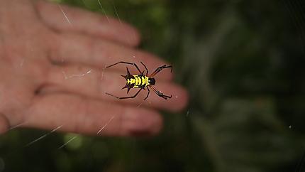 Araignée équatorienne