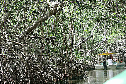 Dans la mangrove de Celestun