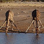 L'apéro des girafes