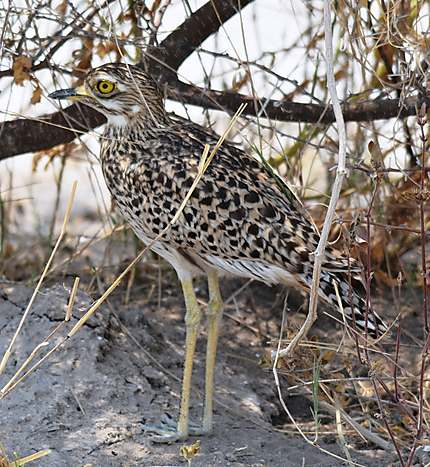 Spotted Thick-knee - Oedicneme tachard