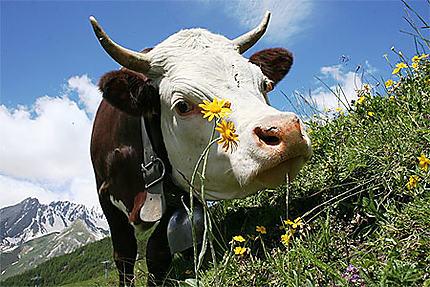 Saint Rhemy en Bosses le pays de la vache