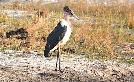 Marabou Stork - Marabout d'Afrique