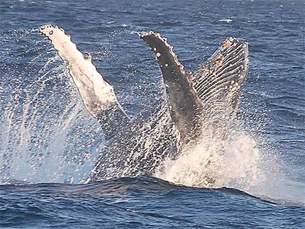 Humpback whale, Santa Lucia