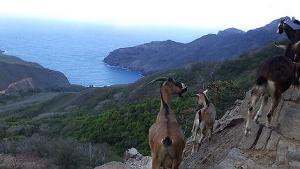 Chèvres en bord de falaises