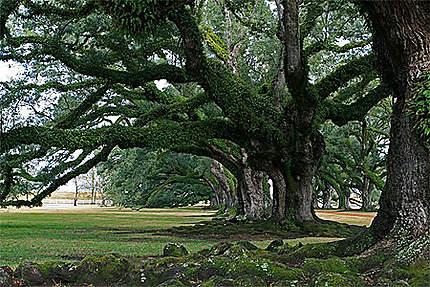 Les chênes de Oak Alley
