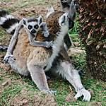 Lémurien curieux