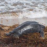 Tortue luth plage de Grande Anse, les Saintes