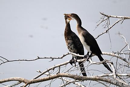 Reed Cormorant - Cormoran africain