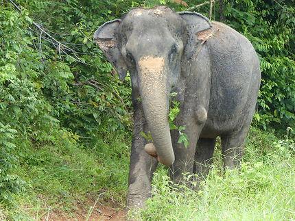 Éléphant d'Asie à Rawai Beach, Thaïlande