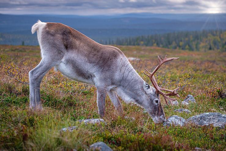 Rencontre sauvage, Laponie finlandaise