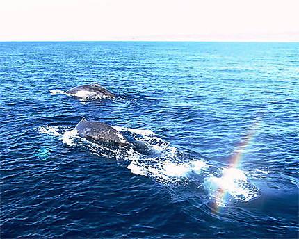 Baleines à bosses dans le grand bleu