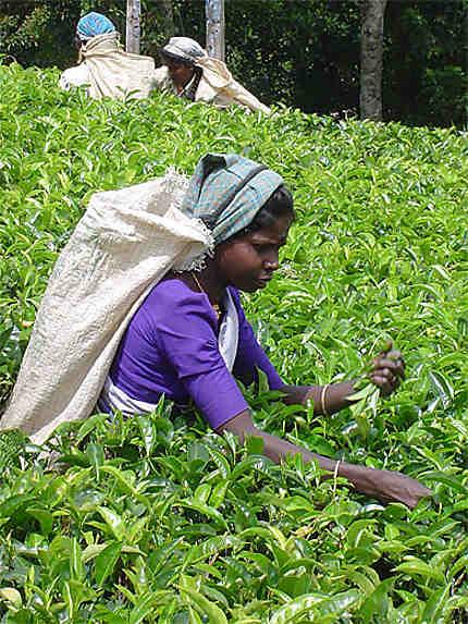 Cueilleuse, plantation de thé
