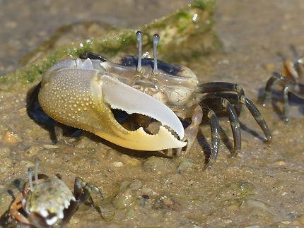 Crabe sur la plage de Rawai Beach, Thaïlande