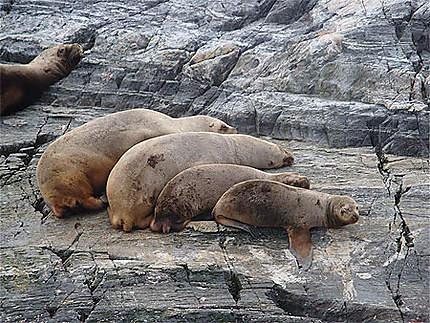 Famille de phoques
