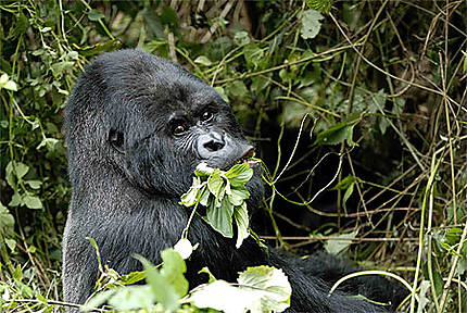 Gorille, gare au gorille