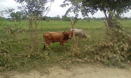 Vaches en Colombie