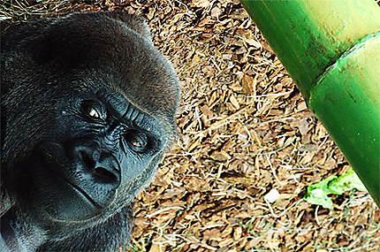 Gorille au zoo du Lincol Park