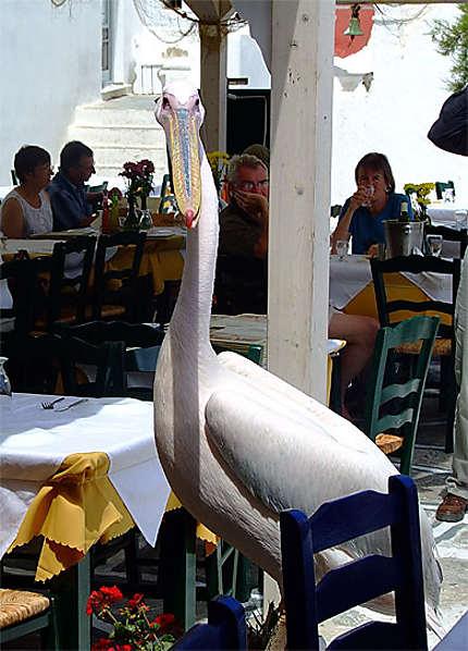 Pelican à Mykonos