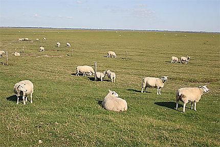 Les moutons de l'île de Mando