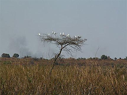 Oiseaux Pique-boeuf