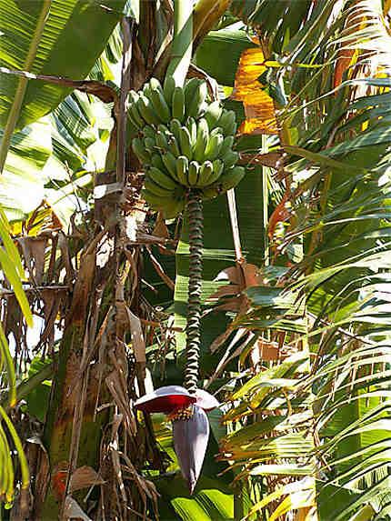 Fleurs de bananier