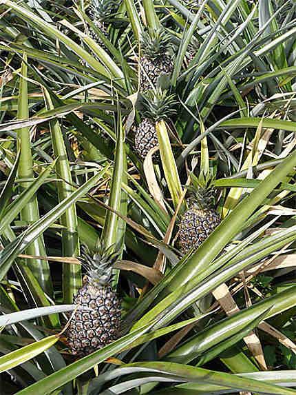 Pieds d'ananas