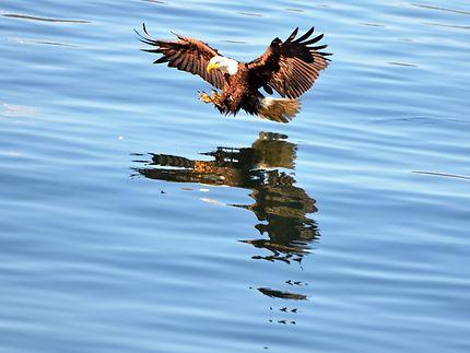 Aigle pêcheur en action (bald eagle)