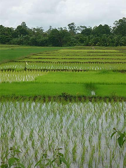 Champs de rizières