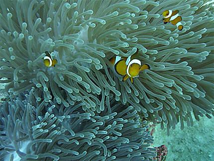 Nemos dans leur anémone