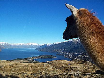 Lama au dessus du lac Wakatipu