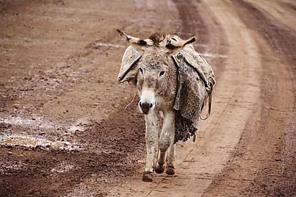 Petit âne Basotho