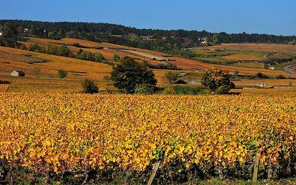Les vignes de Côte d'Or