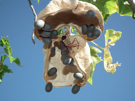 Fruit de baobab