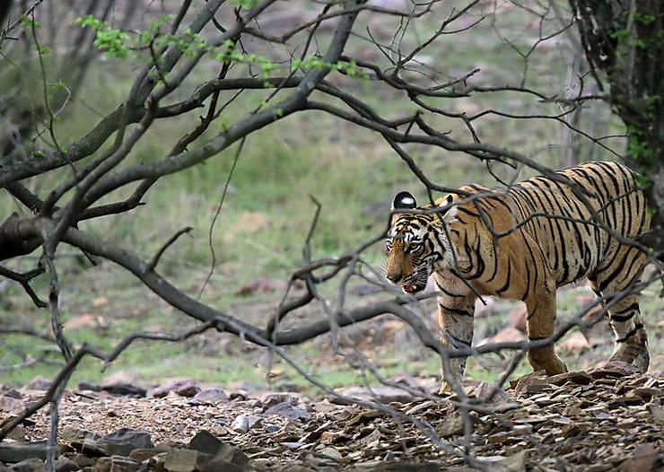 Inde - Où voir des tigres au Rajasthan ?