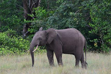 Éléphant mâle, parc national de Loango