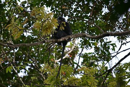 Singe au parc national de la Lopé, Gabon