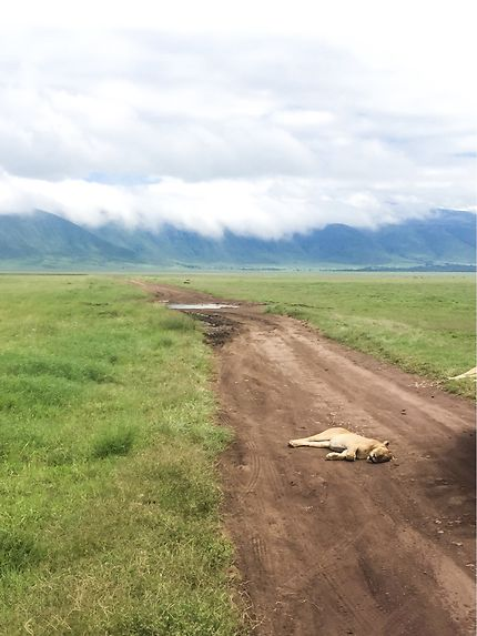 Lionne dans le cratère du Nogorongoro