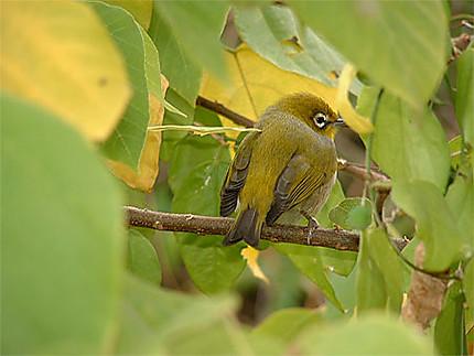 L'oiseau de Green Island