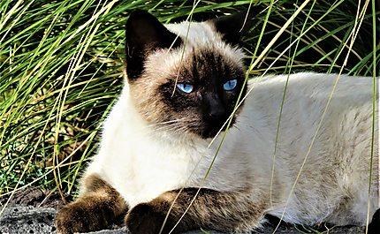 Chat blanc aux yeux bleus à Puerto del Carmen