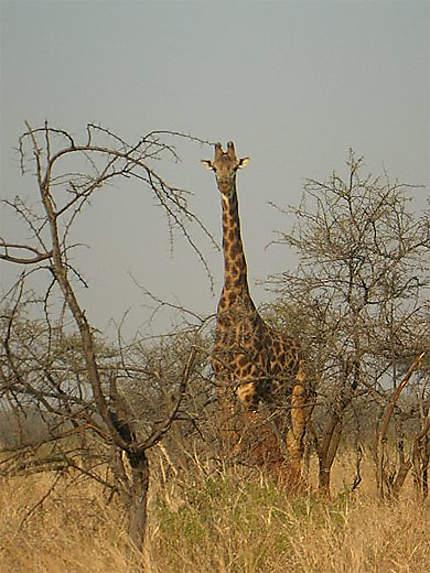 Mkhaya's Giraf