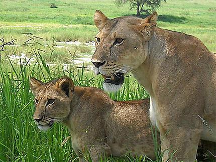 Lionne dans le Tarangire