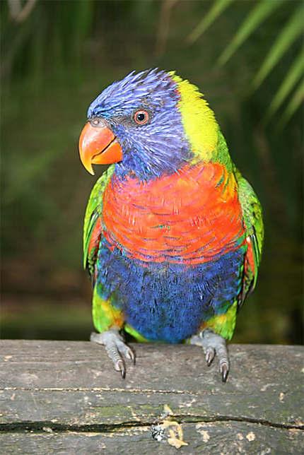 Loriquet Oiseaux Animaux Jardin Botanique De Deshaies