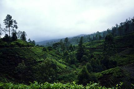 Walking in tea plantations