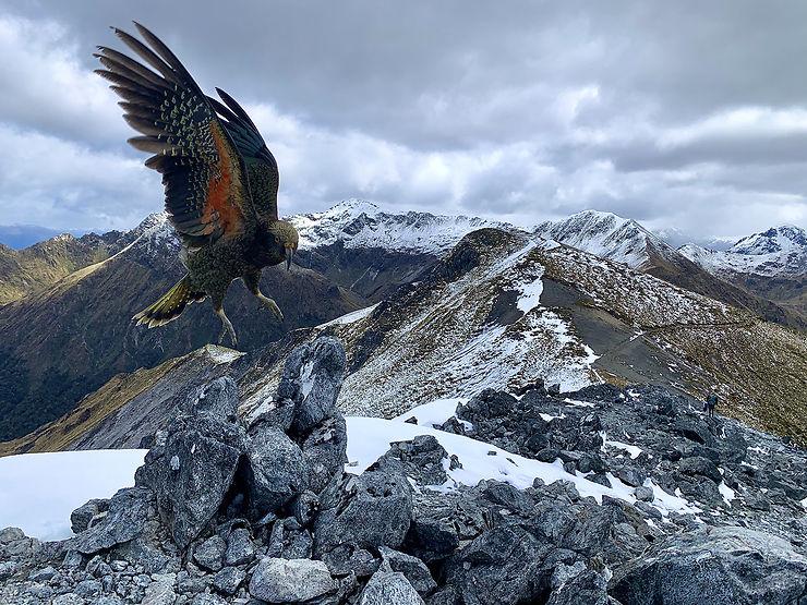 Kéa au Mont Luxmore, Fjordland National Park, Nouvelle-Zélande
