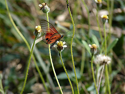 Papillon - Nature